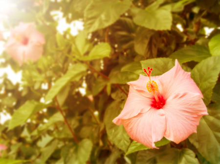 Vintage Hibiscus flower with morning light