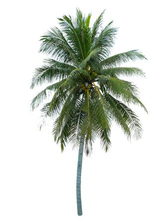 Coconut tree isolated on white background Stock Photo