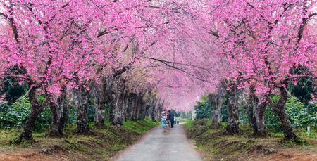 romantic road of sakura flower trees,panorama