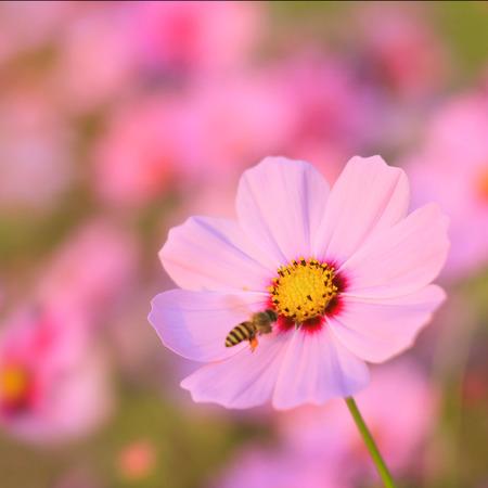 Bee on daisy flower under sunlight in morning