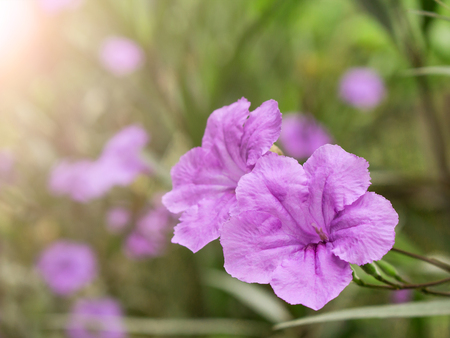 violet flower spring time with sunlight morning background Stock Photo