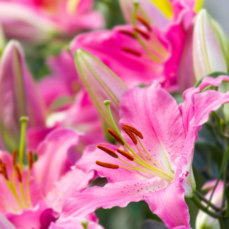 pink lily: pink lily flower in garden
