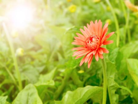 red gerbera flower in summer morning time