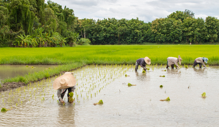 Group of Farmers are planting rice in the farm