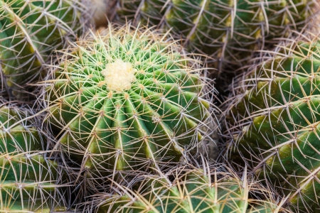 Closeup of globe shaped cactus with long thorns photo