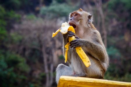 comiendo platano: Un mono se sienta en la piedra y se come el plátano Foto de archivo