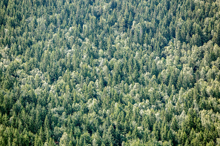 evergreen forest: Closeup of evergreen forest background.