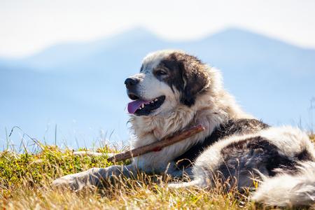 Portait of sheepdog lying against blue mountains. Reklamní fotografie