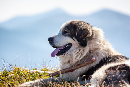 Portait of sheepdog lying against blue mountains. Stock Photo
