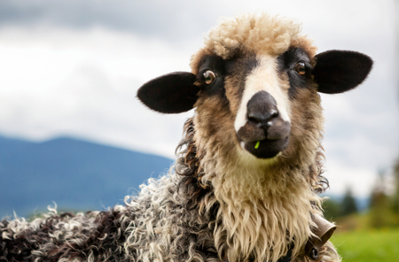 This is portrait of funny sheep looking at camera. Stock Photo