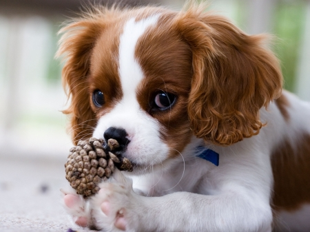 Puppy chewing on pine cone Stock Photo - 1748427