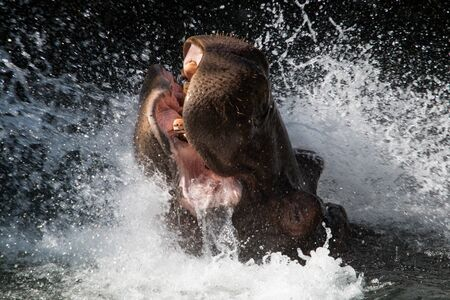 A hippopotamus splashing in the water, showing teeth and open mouth