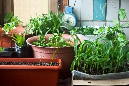 Przytulny ogród z balkonu siewek kukurydzy i kwiatów