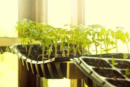 cosy: Sunny and cosy tomatoes seedling in cassettes - selective focus