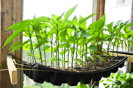 Peppers seedlings growing in cassettes on the balcony