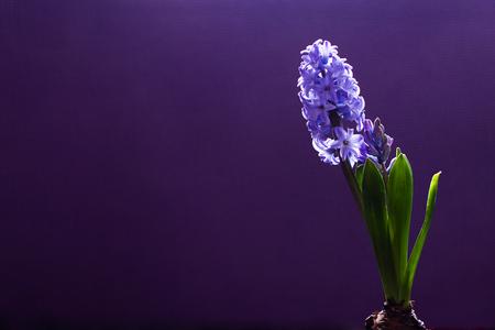 Bulbo di fiore del giacinto in vaso su fondo porpora scuro
