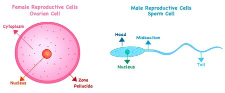 Female reproductive cell; Oocytes Male sex cell; sperm cell structure. Reproduction in humans and animals. Simple annotated. White background diagram. Editable 2d vector illustration