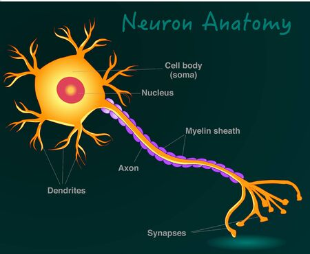 Neuron anatomy. Yellow neuron diagram. Simple expression nerve cell structure. Dark green background. 2d drawing illustration. Vector.