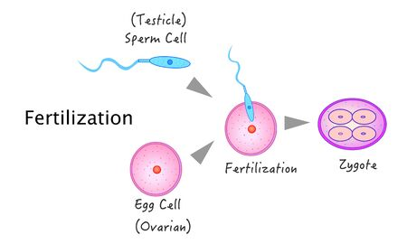 Fertilization, fertilizer, fertility. Stages, phase. Sperm from the testis and egg cell from the ovary. The introduction of sperm into the egg and the formation of zygote. Annotated. 2d vector