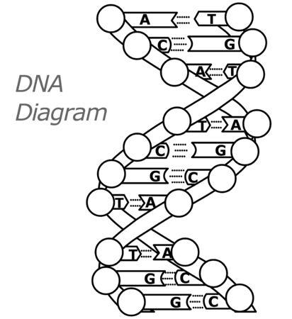 Black white line DNA model. DNA structure diagram. Encyclopedic classic drawing.for books. Contour outline Retro, 2d vector line illustration