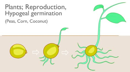 Hypogeal germination. Vegetative propagation stages. Examples plants, Peas Corn Coconut growth, development reproductive system. Germination of plant seeds under the ground. Botanical draw Vector