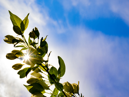 The suns rays shine through a branch of an apple tree against a blue sky. The concept of environmental protection. It may be a blank for summer congratulation cards or for other things. 写真素材