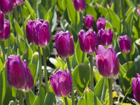 Beautiful field whith flowers. Big purple tulips. Outdoor photo