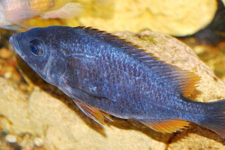 River decorative fish in an aquarium Stock Photo - 4976635