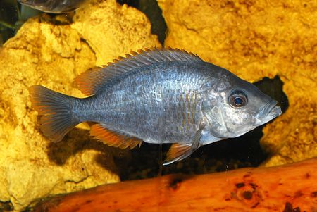 crowd tail: River decorative fish in an aquarium
