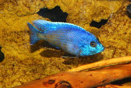 River decorative fish in an aquarium Stock Photo - 4993953