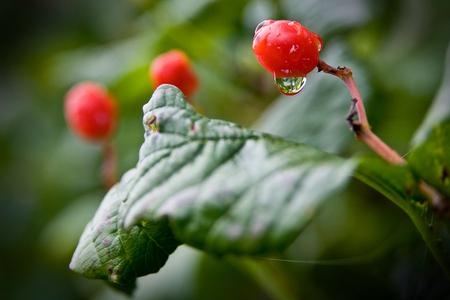 Dew on berries Banco de Imagens