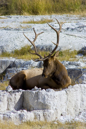 Elk Resting on Calcium Deposites Stock fotó - 33806660