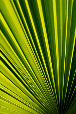 fronds: Palm Fronds