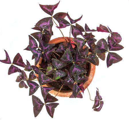 oxalis: oxalis flower like butterfly