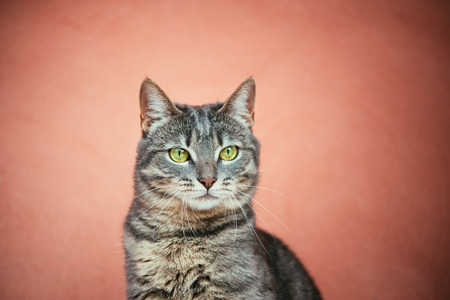 pets background: portrait of cat with pink background