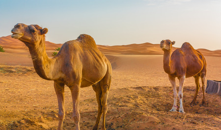 sandhills: Two camels in the Sahara desert waiting for the next trip.