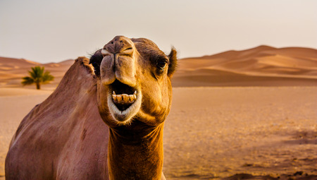 camel in desert: Camel used by locals to move around the Saara desert. Stock Photo
