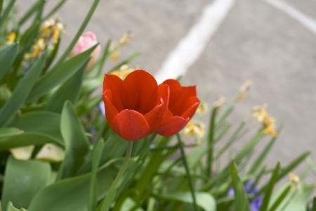 massif de fleurs: Tulipes rouges dans parterre de fleurs