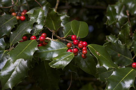 Holly and Berries photo