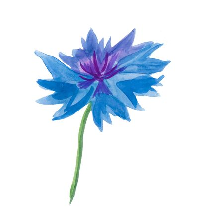 One watercolor blue cornflower. Botanical illustration on a white isolated background. Cute field flower hand drawn. Design for packaging, postcards, poster, advertising, banner, textiles, wallpaper.