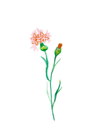 One watercolor branch of a red and pink cornflower hand drawn. Spring flower illustration on a white isolated background. Design for stickers, cards, banners, posters, wrapping paper,packaging.