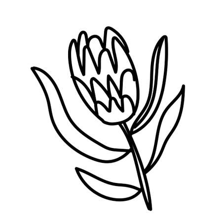 Vector single Protea. Botanical illustration doodle black line art on a white isolated background.Design for social media,web,cards,textiles, wrapping paper,packaging,prints,coloring.