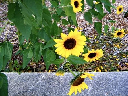 susan: Black Eyed Susan flowers growing in Seattle, Washington
