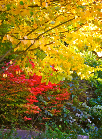 abound: Fall colors abound on these trees in Seattle, Washington