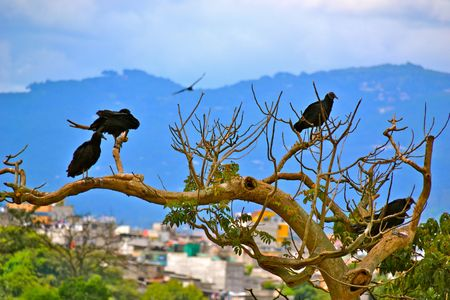 scavenger: Scavenger birds at a junkyard in Guatemala City, Guatemala
