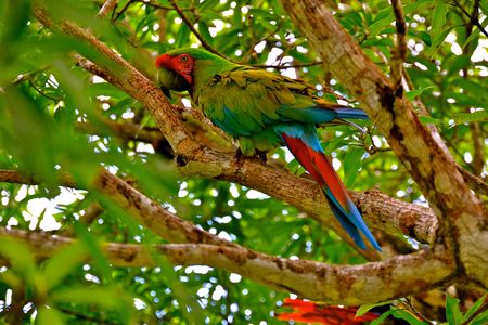 multi national: A parrot in the rainforest of Tikal National Park in Guatemala