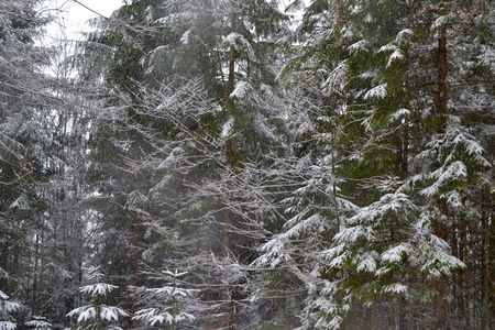 laden: Evergreen trees laden with snow in the Bavarian Countryside of Germany