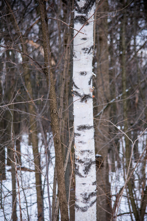 A lonely birch tree in the middle of a forest in Canada