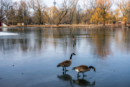 Two duck walking on a frozen lake, in a parkland