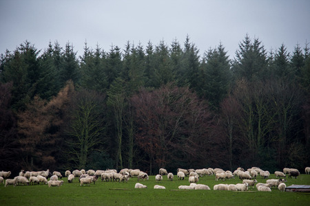 A herd of sheep in a field, in springtime, next to a forest